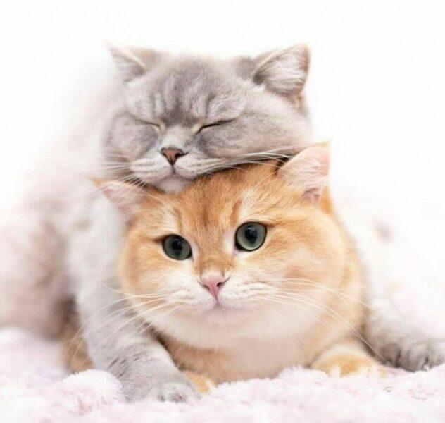ảnh cặp đôi mèo cute