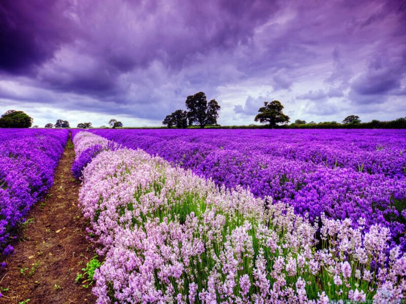 hinh anh vuon hoa oai huong tim