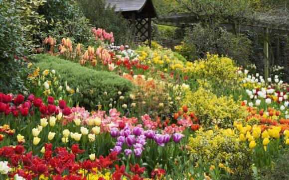 hinh anh vuon hoa tulip