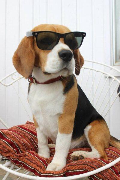 ảnh con chó ngộ nghĩnh đeo kính rất ngầu
