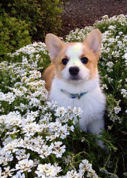 ảnh cún con corgi bên hoa làm hình nền