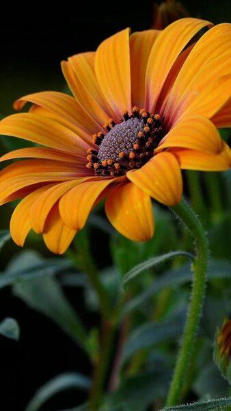 ảnh hoa cúc châu phi màu cam