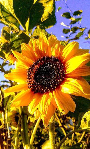 ảnh hoa hướng dương rực rỡ dưới nắng vàng