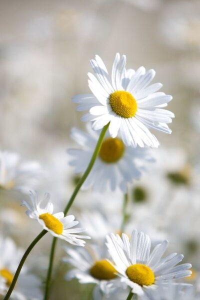 ảnh nền điện thoại hoa cúc trắng