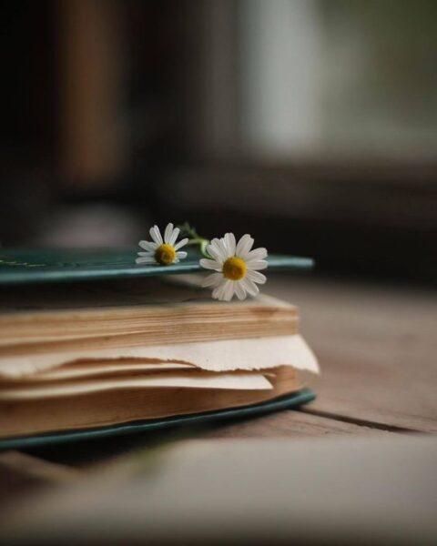 ảnh nền hoa cúc họa mi trắng buồn kẹp trên cuốn sách