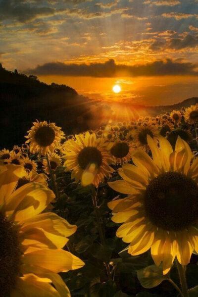 ảnh nền hoa hướng dương buổi sớm bình minh
