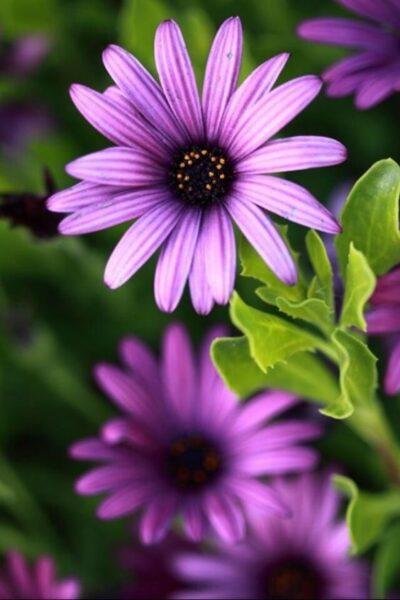 hình ảnh bông hoa cúc châu phi màu tím hồng