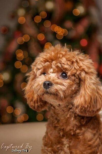 hình ảnh con chó poodle dễ thương lông xù