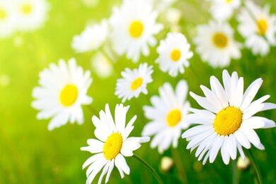 hình ảnh đẹp về những bông hoa cúc mang nhiều ý nghĩa