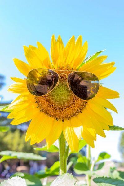 hình ảnh hài hước yêu đời của hoa hướng dương