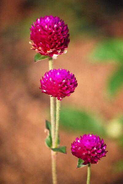 hình ảnh hoa cúc bách nhật đẹp mang màu sắc thủy chung