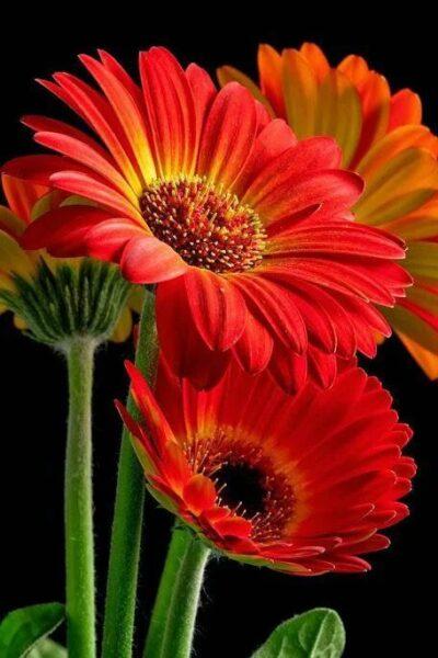 hình ảnh hoa cúc đồng tiền