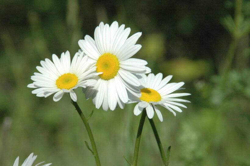 hình ảnh hoa cúc trắng đẹp nhất