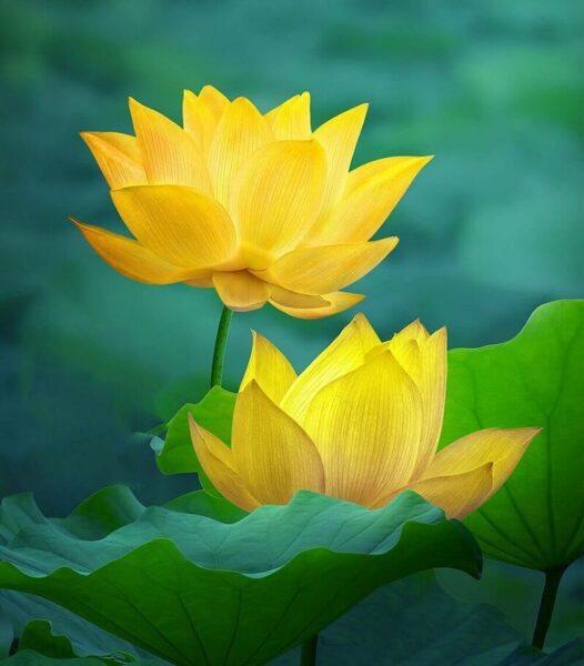 hình ảnh hoa sen vàng đẹp