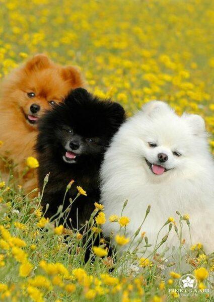 hình nền 3 con chó bông dễ thương cười ngộ nghĩnh giữa vườn hoa cúc