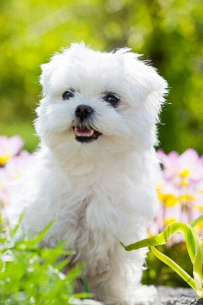 hình nền chú chó lông xù trắng như bông
