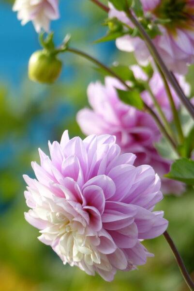 hình nền hoa cúc đài loan màu phớt hồng cho điện thoại