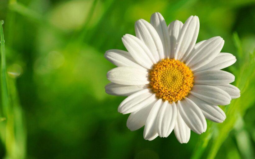 hình nền hoa cúc trắng đẹp nhất thế giới cho máy tính