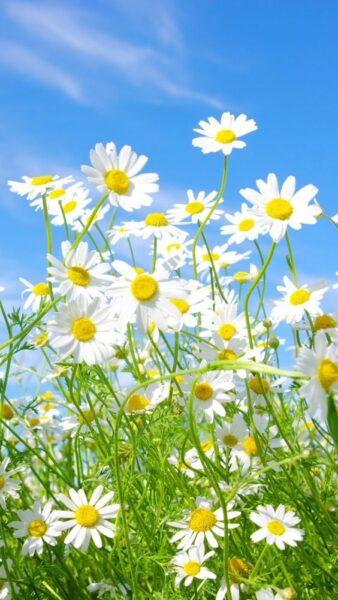 hoa cúc trắng đẹp nhất