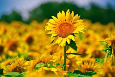 Những hình ảnh đẹp nhất về hoa hướng dương và ý nghĩa