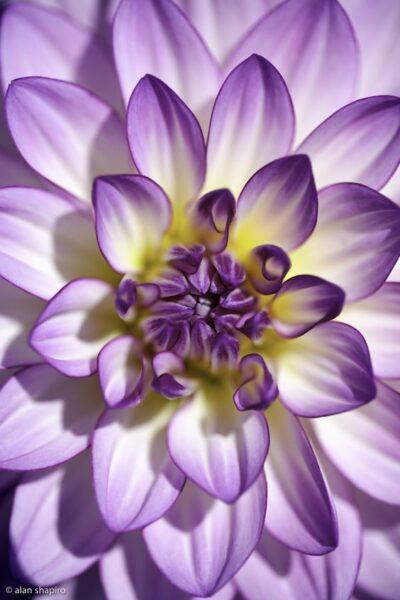 tải ảnh hoa cúc đẹp nhất thế giới