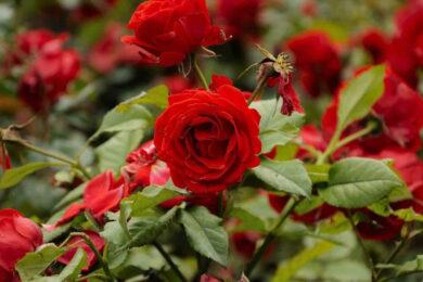 Tải hình ảnh những bông hoa hồng đẹp tự nhiên và lãng mạn nhất thế giới