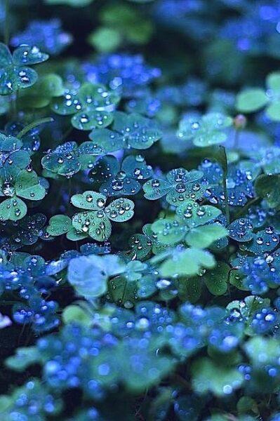 hình nền cỏ 3 lá màu xanh ngọc cho điện thoại