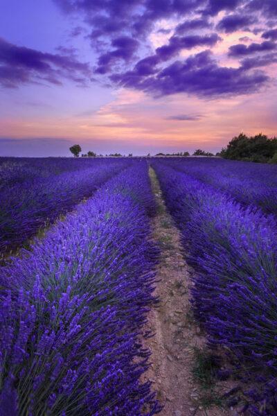 Ảnh cánh đồng hoa lavender tím huyền ảo