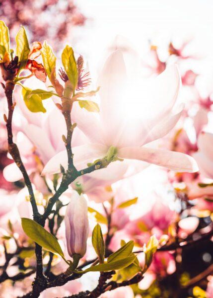Ảnh hoa đào ngày tết dưới ánh nắng lung linh