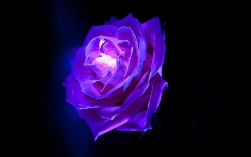 Ảnh hoa hồng tím nghệ thuật