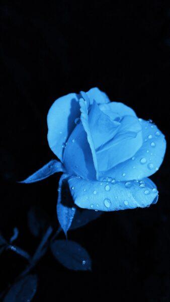 Ảnh hoa hồng xanh đơn giản đẹp nhất