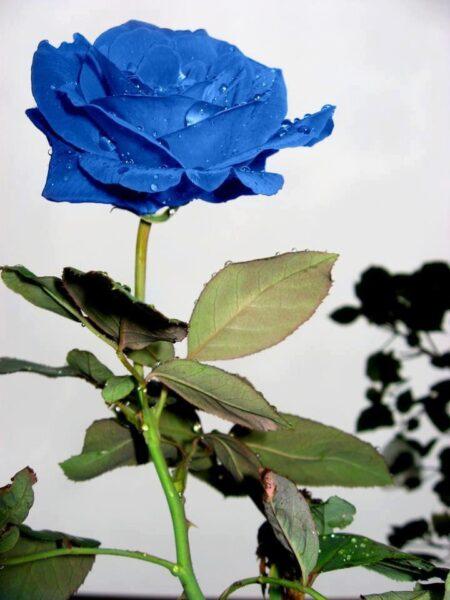 Ảnh hoa hồng xanh tự nhiên