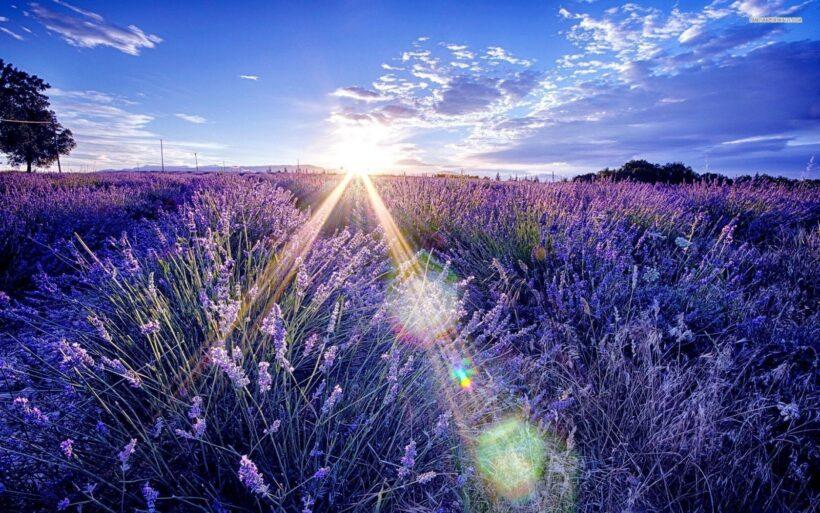 Ảnh hoa lavender dưới bầu trời xanh