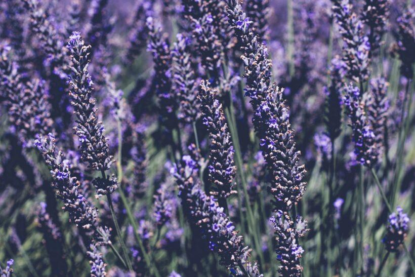 Ảnh hoa lavender tím nghệ thuật