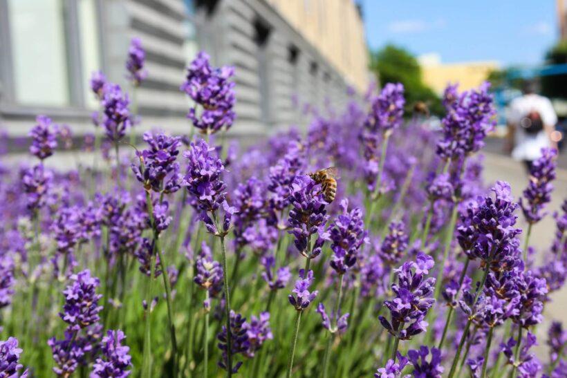 Ảnh hoa lavender và con ong