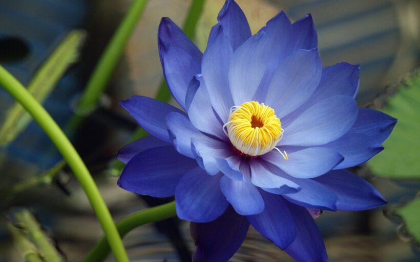Ảnh hoa sen xanh đẹp mê hồn