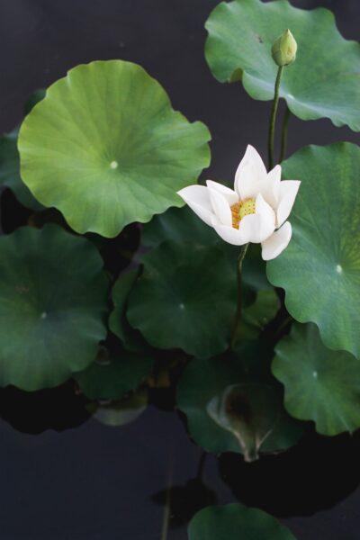 Ảnh hoa sen xanh nở bung đẹp tự nhiên