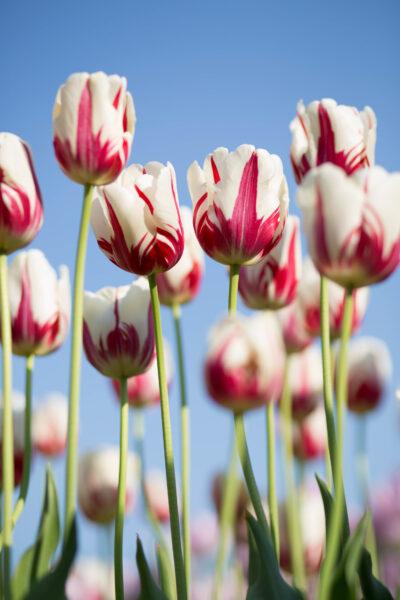 Ảnh hoa tulip đẹp độc đáo