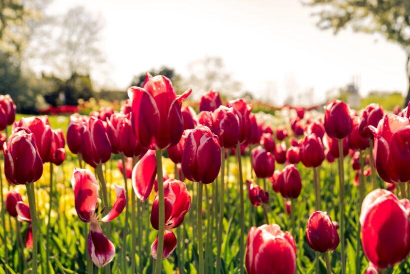Ảnh hoa tulip lung linh nhất