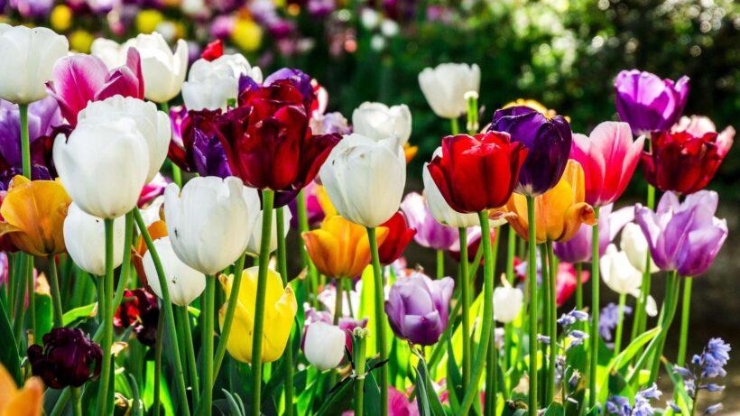 Ảnh hoa tulip rực rỡ đầy màu sắc