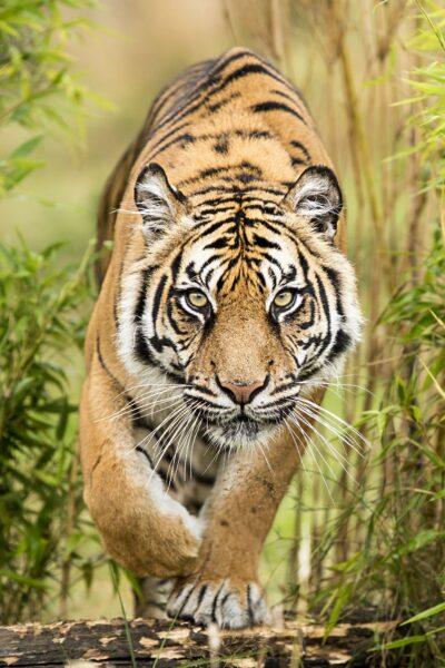 ảnh nền con hổ hung dữ