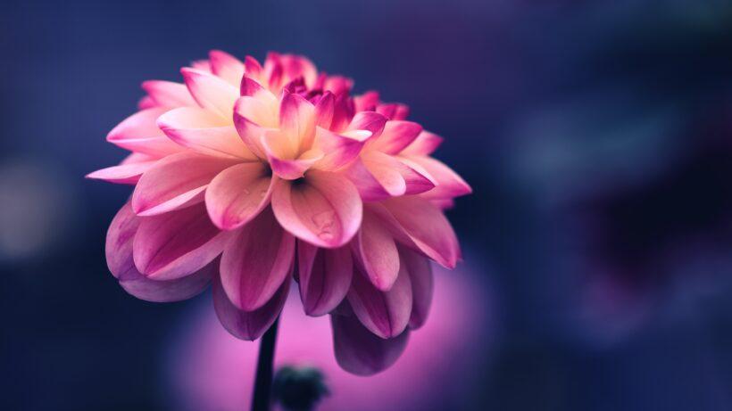ảnh nền hoa tím đẹp cho máy tính