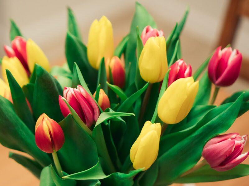 Ảnh nền hoa tulip đơn giản