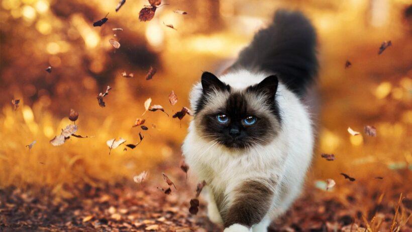 ảnh nền mèo đẹp nhất thế giới cho máy tính