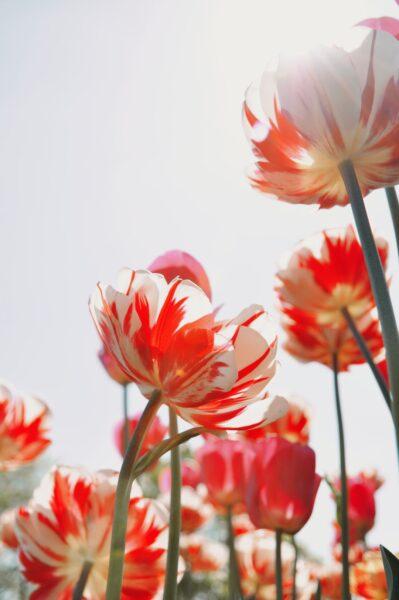 Ảnh tulip nở rực rỡ trong ánh nắng