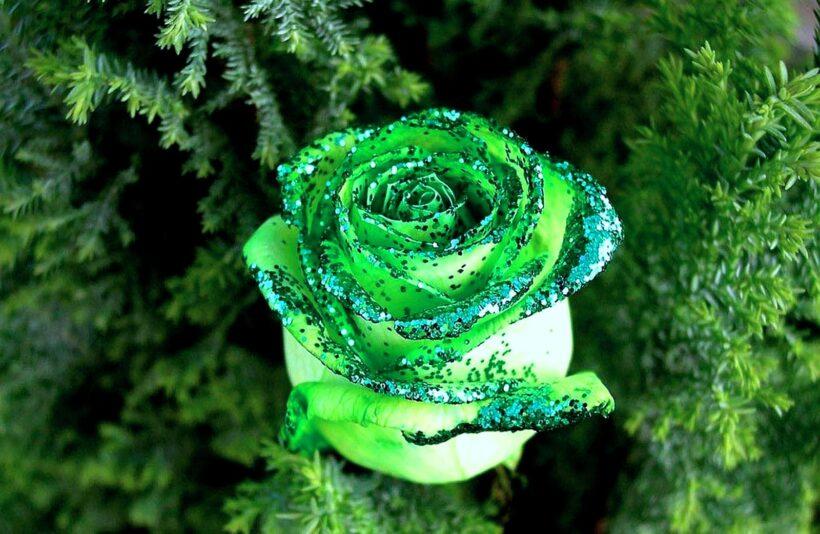 Bông hoa hồng xanh đẹp lạ