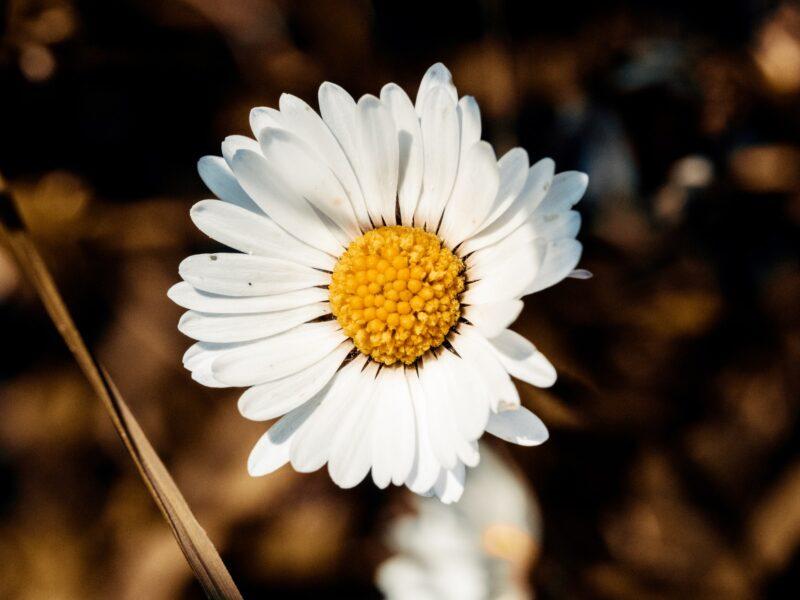 Cận cảnh ảnh một bông hoa cúc họa mi