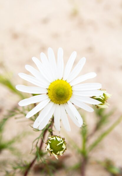 Cận cảnh bông hoa cúc họa mi