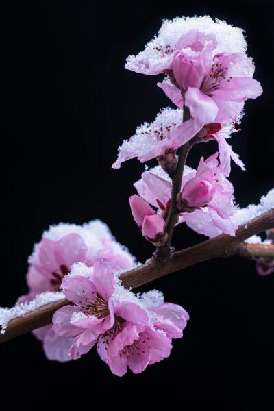 Cận cảnh những bông hoa đào dính tuyết