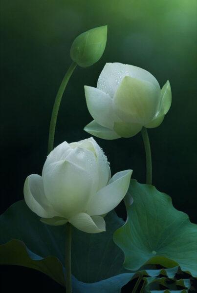 Hai bông hoa sen xanh đẹp nhất